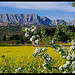Colza au pied de la Sainte-Victoire par Patchok34 -   Bouches-du-Rhône Provence France