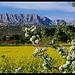 Colza au pied de la Sainte-Victoire by Patchok34 -   Bouches-du-Rhône Provence France