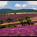 Champs de lavandes à Sederon  par  - Barret-de-Lioure 26570 Drôme Provence France