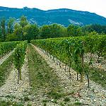 Vignoble du Cremant de Die par Reinhold.Lotz -   Drôme Provence France