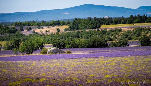 Sault, sa lavande et ses paysages en violet by Rémi Avignon