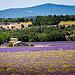 Sault, sa lavande et ses paysages en violet by Rémi Avignon - Cassis 13260 Drôme Provence France