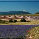 Mont Ventoux et relief de lavande by  -   Drôme Provence France