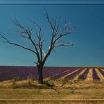 L'arbre et la lavande by  -   Drôme Provence France