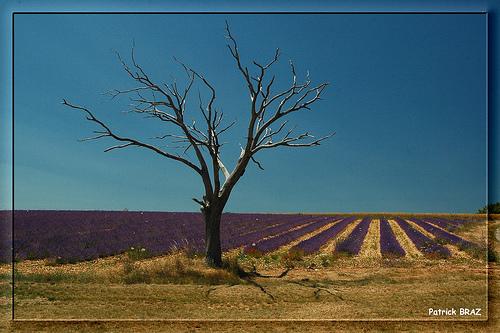 L'arbre et la lavande par Patchok34