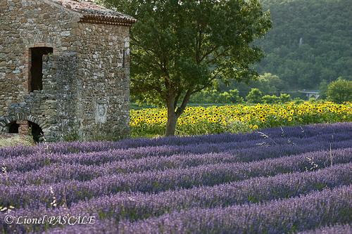 Lavande - Pont-de-Barret - Drôme Provençale by La Drôme