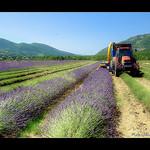 Récolte de la Lavande / lavender par Alain Cachat - Roche-St.-Secret-Béconne 26770 Drôme Provence France