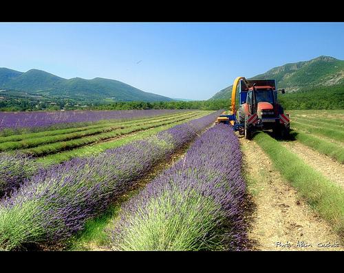 Récolte de la Lavande / lavender par Alain Cachat