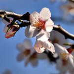 Amandier en fleurs...c'est le printemps ! by  - Sainte Jalle 26110 Drôme Provence France
