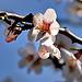 Amandier en fleurs...c'est le printemps ! by Charlottess - Sainte Jalle 26110 Drôme Provence France