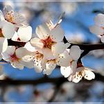 Amandier en fleurs à Sainte-Jalle by Charlottess - Sainte Jalle 26110 Drôme Provence France