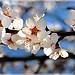 Amandier en fleurs à Sainte-Jalle par Charlottess - Sainte Jalle 26110 Drôme Provence France