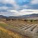 Champs de lavande en attente de chaleur et de soleil - Sainte-Jalle (26) par 1183MB -   Drôme Provence France