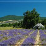 Borie dans la lavande by  -   Drôme Provence France