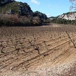 Vigne à Rochefort du Gard en février par  - Rochefort-du-Gard 30650 Gard Provence France