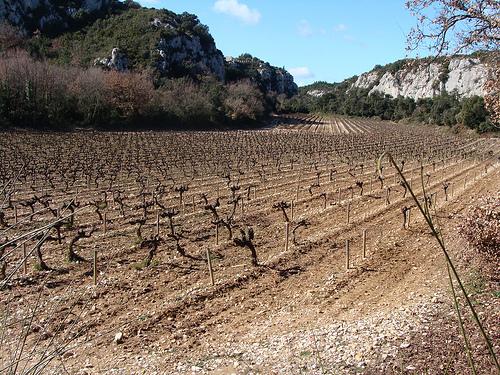Vigne à Rochefort du Gard en février par salva1745
