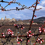 Bourgeons du Cerisier by alain bordeau 2 -   Gard Provence France