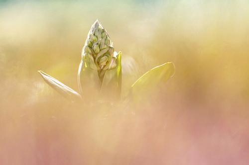Orchis géant (Himantoglossum robertianum) par Magictreepic