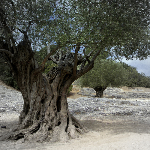 Ancient olive trees by perseverando