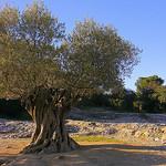 Un olivier plus que millénaire! par Super.Apple - Vers-Pont-du-Gard 30210 Gard Provence France