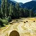 Hay Rolls / Rouleaux de foin sur vague de blés par CTfoto2013 - Barret-sur-Méouge 05300 Hautes-Alpes Provence France