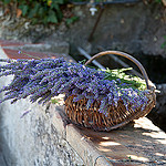 Lavenders from Provence par Belles Images by Sandra A. - Bargemon 83830 Var Provence France