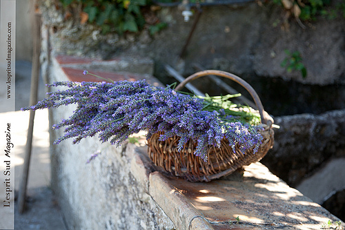 Lavenders from Provence par Belles Images by Sandra A.