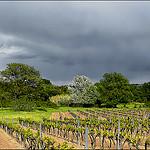 Lumière sur les vignes au printemps par myvalleylil1 - Cogolin 83310 Var Provence France