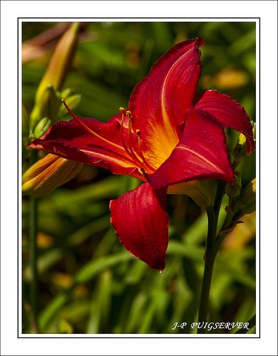 Gros plan sur Fleur rouge par PUIGSERVER JEAN PIERRE