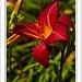 Gros plan sur Fleur rouge par PUIGSERVER JEAN PIERRE - Cogolin 83310 Var Provence France