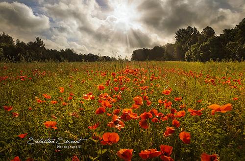 Poppy's Battlefield by Sébastien Sirvent Photographie