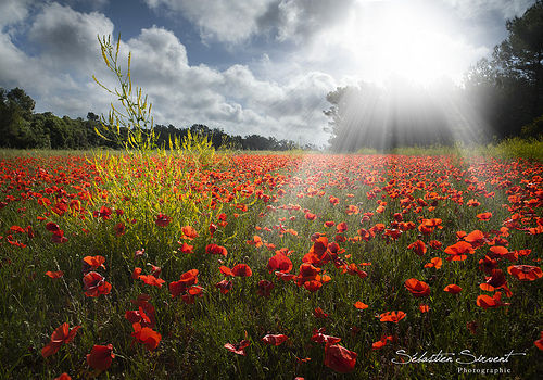 Poppy's revelation by Sébastien Sirvent Photographie