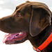 Labrador  Grimaud by Belles Images by Sandra A. - Grimaud 83310 Var Provence France