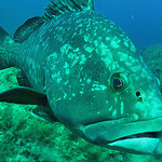 Grouper fish - Scuba diving in Port Cros by chris wright - hull - Port Cros 83400 Var Provence France