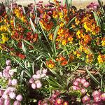 Giroflées. Massif floral. La Garde, Var. par Only Tradition - La Garde 83130 Var Provence France