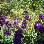 Iris. Le Rocher, La Garde, Var. by Only Tradition - La Garde 83130 Var Provence France