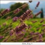 Fleurs des Champs par Letzia - Le Castellet 83330 Var Provence France