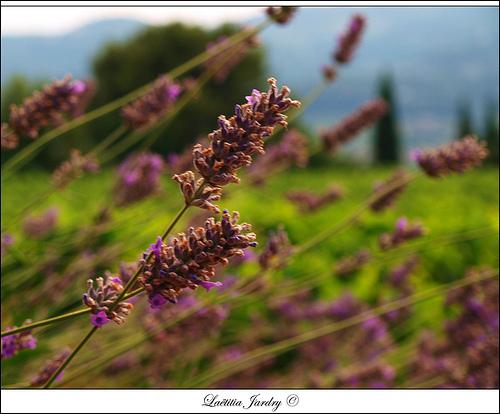 Fleurs des Champs par Letzia