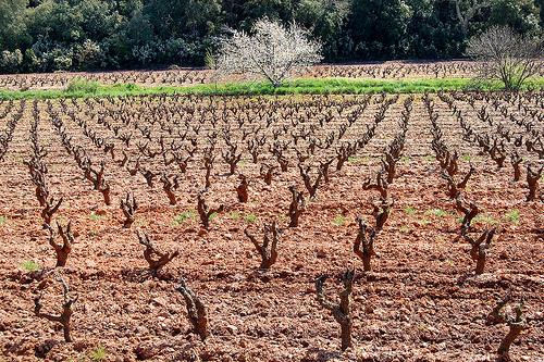 Les vignes et l'arbre - Pierrefeu par Charlottess