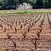 Les vignes et l'arbre - Pierrefeu par Charlottess - Pierrefeu du Var 83390 Var Provence France
