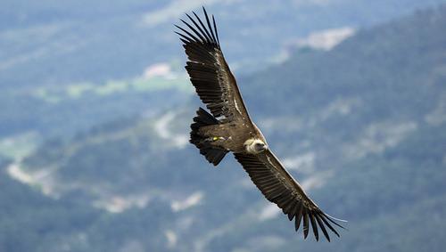 Le vol du vautour fauve - Gyps fulvus - Griffon Vulture par Fred Scoffier