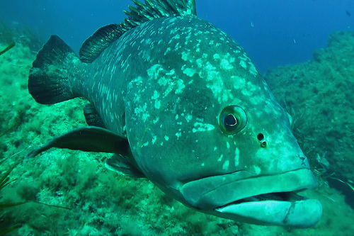 Grouper fish - Scuba diving in Port Cros par chris wright - hull