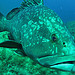 Grouper fish - Scuba diving in Port Cros par  - Port Cros 83400 Var Provence France