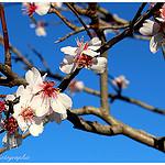 Amandier en fleurs... le retour du printemps par Tinou61 - Pourrieres 83910 Var Provence France