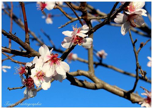 Amandier en fleurs... le retour du printemps par Tinou61