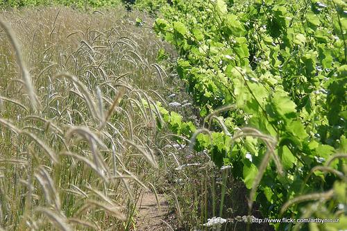 Vigne et blé par Niouz