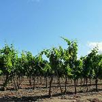 Vignes à Ramatuelle par  - Ramatuelle 83350 Var Provence France