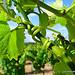 Serpentin de Vigne par Niouz - Ramatuelle 83350 Var Provence France