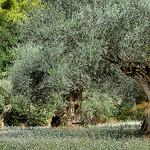 Les oliviers - Sanary-sur-Mer par Charlottess - Sanary-sur-Mer 83110 Var Provence France