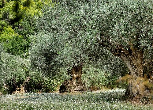 Les oliviers - Sanary-sur-Mer par Charlottess